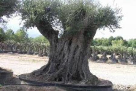 Des oliviers Millénaires : un caractère 100% méditerranéen