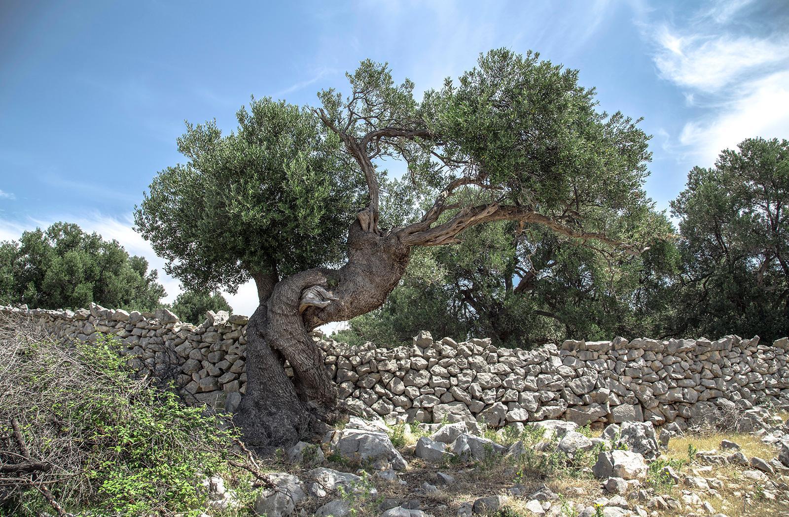 Ventes d'oliviers dans les Bouches du Rhône