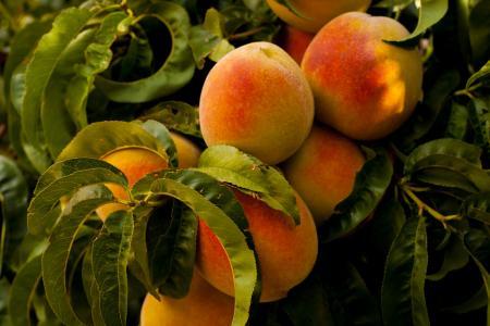Variétés d'arbres fruitiers et période de fructification : faites votre choix !