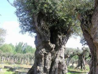 planter olivier marseille aix