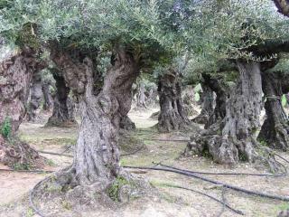 vente vieux oliviers 13