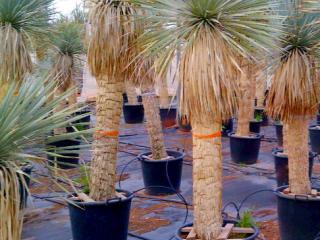 Yucca rostrata pas cher