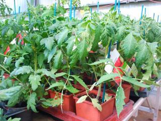 Les légumes greffés
