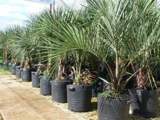 Palmier Butia : le palmier sud américain