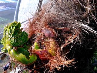 Comment sauver un palmier infecté par le charançon rouge ou le papillon palmivore ?