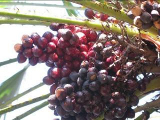 Palmier nain : le Chamaerops humilis