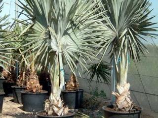 Le palmier Brahea armata ou palmier bleu du Mexique