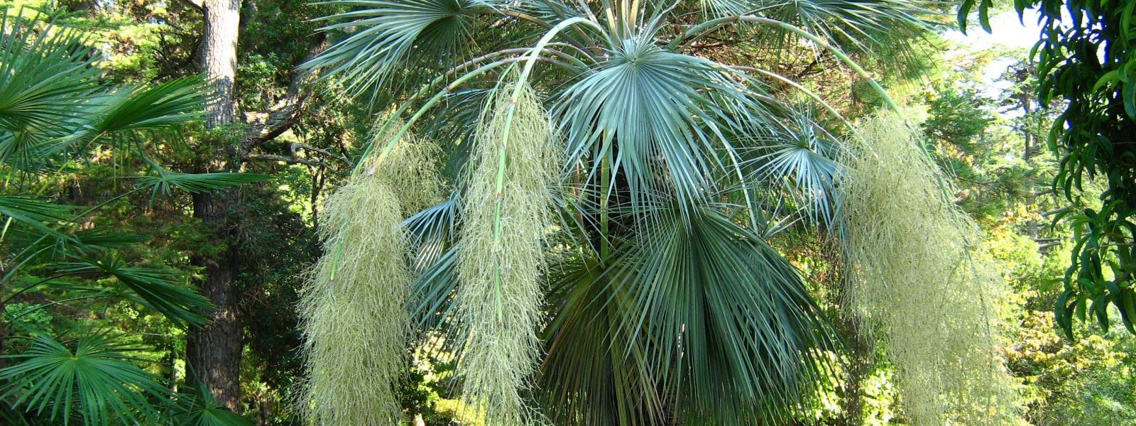Palmiers à Aix en Provence et Marseille