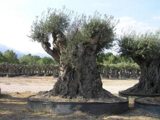 olivier millenaire aix