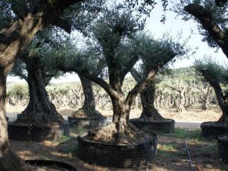 olivier centenaire charpenté