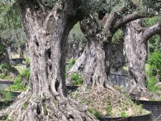 oliviers centenaires pas cher aix marseille