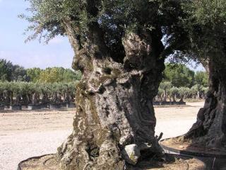 arbre millenaire marseille