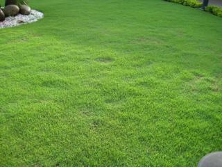 Gazon Zoysia tenuifolia en plaques : le Gazon des Mascareignes