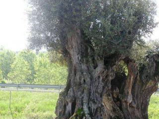 ou acheter olivier ancien 13