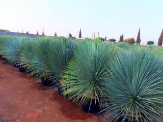 Yucca rostrata résistant au froid