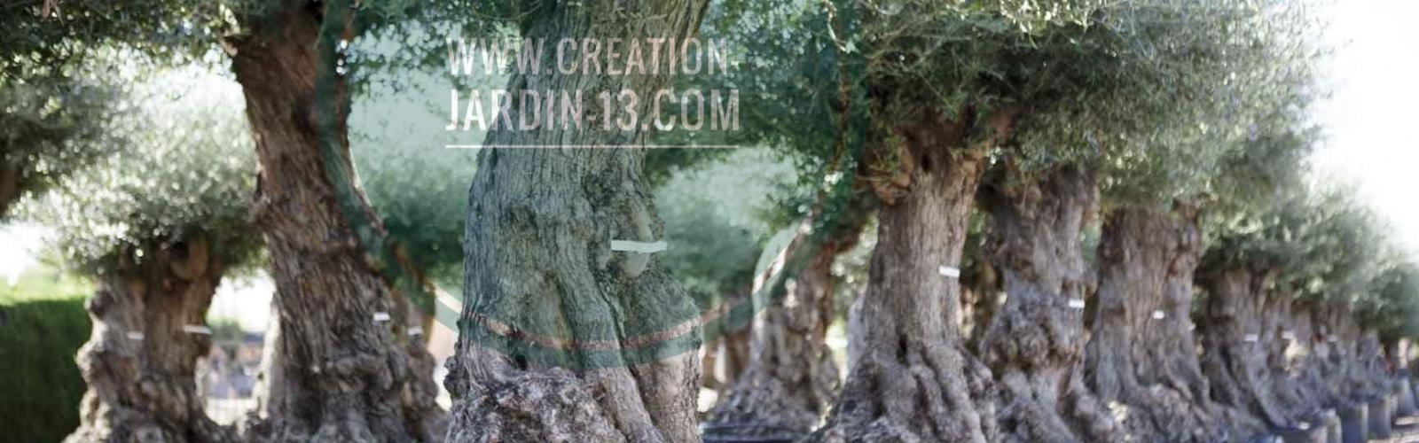 Olivier : un arbre millénaire emblématique de la Méditerranée