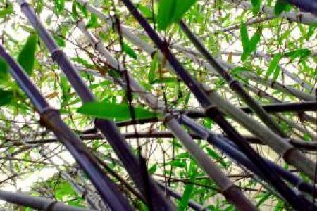 Bambou noir : Phyllostachys nigra