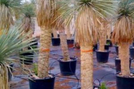 Yucca rostrata : palmier exotique à Marseille