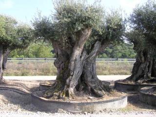 acheter olivier centenaire aix marseille