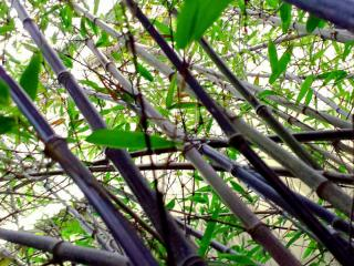 Bambous à Aix en Provence