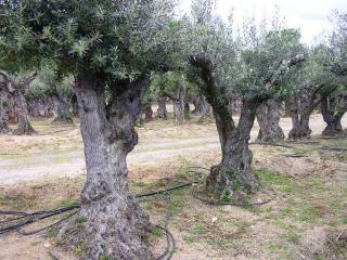 ancien olivier bouches du rhone