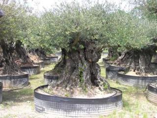 Oliviers centenaires: 500 ans