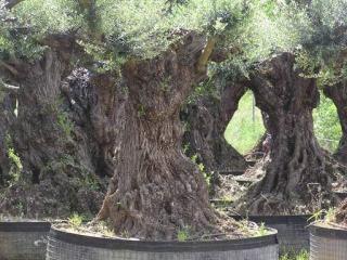 acclimatation oliviers 13