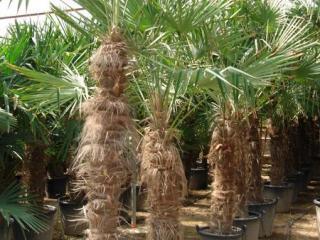 Palmier Trachycarpus Fortunei ou palmier Chanvre à Marseille