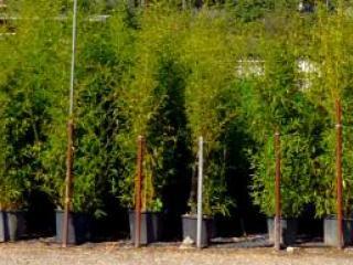 Bambou en pot pour terrasses et balcons