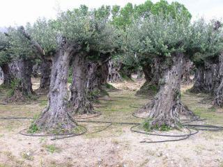 replanter un olivier