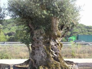olivier centenaire pas cher