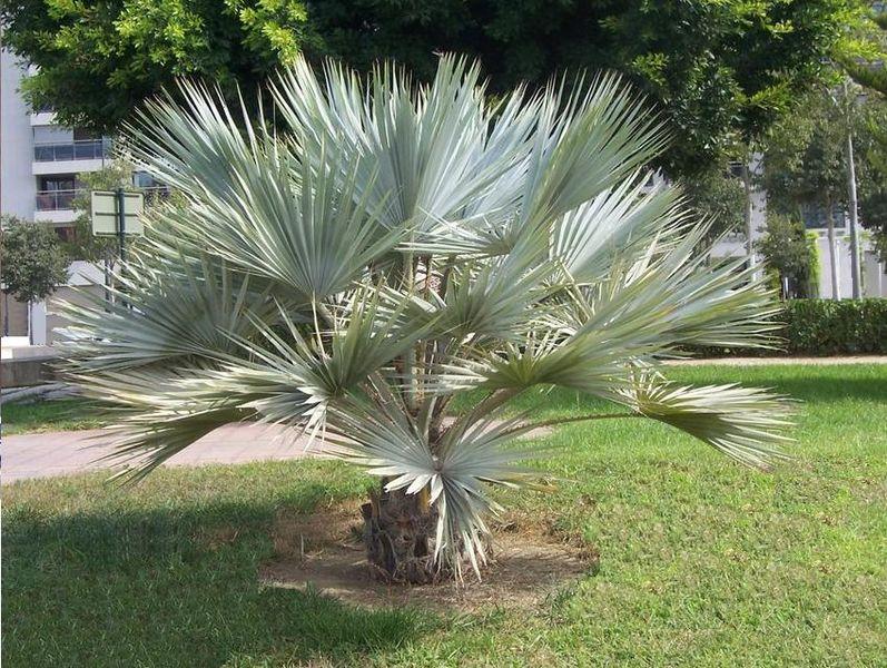 le palmier brahea armata ou palmier bleu du mexique vente palmier. Black Bedroom Furniture Sets. Home Design Ideas