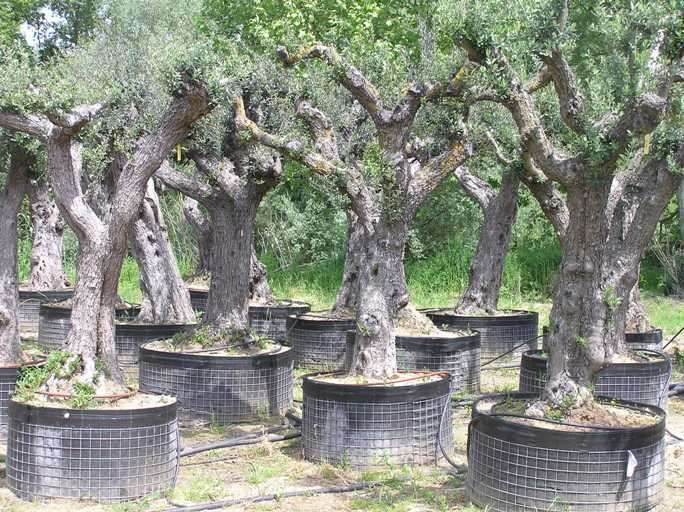 oliviers centenaires 100 ans acheter olivier marseille 13. Black Bedroom Furniture Sets. Home Design Ideas