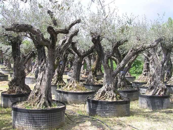 oliviers centenaires 200 ans acheter olivier n mes. Black Bedroom Furniture Sets. Home Design Ideas