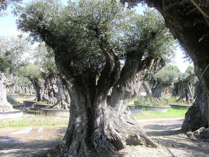 planter un vieil olivier