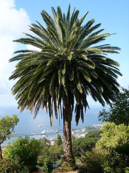 palmier phoenix vente palmier marseille 13 aix en provence vitrolles. Black Bedroom Furniture Sets. Home Design Ideas