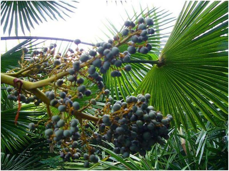 palmier trachycarpus fortunei ou palmier chanvre marseille vente palmier. Black Bedroom Furniture Sets. Home Design Ideas
