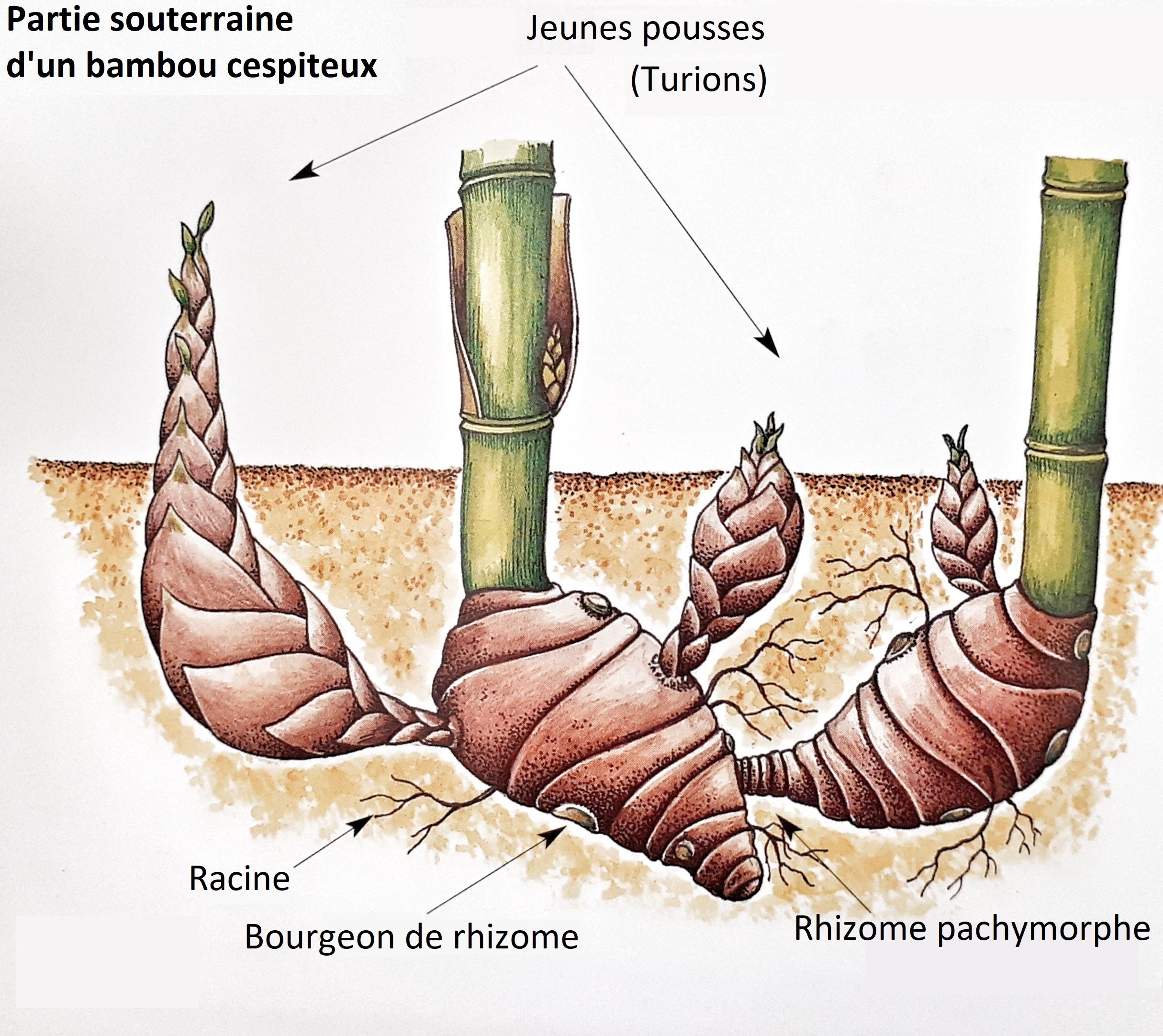 système racinaire bambou non traçant