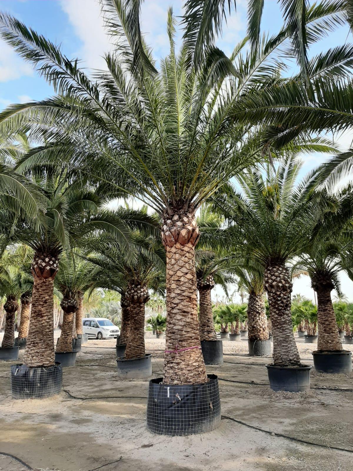 Cacher un vis a vis avec un palmier