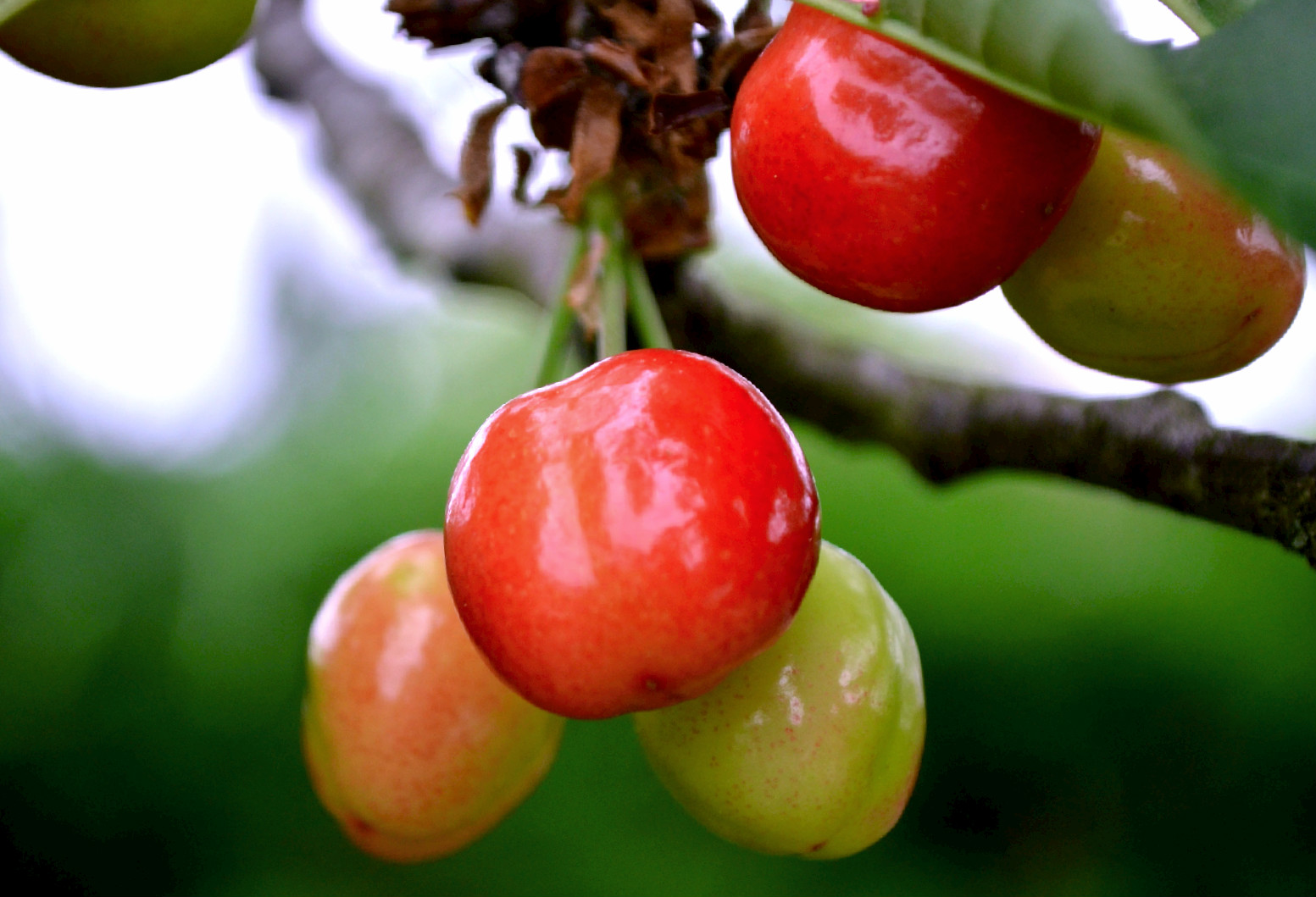 Bien choisir son cerisier