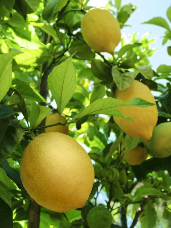 Planter un citronnier dans mon jardin à Marseille