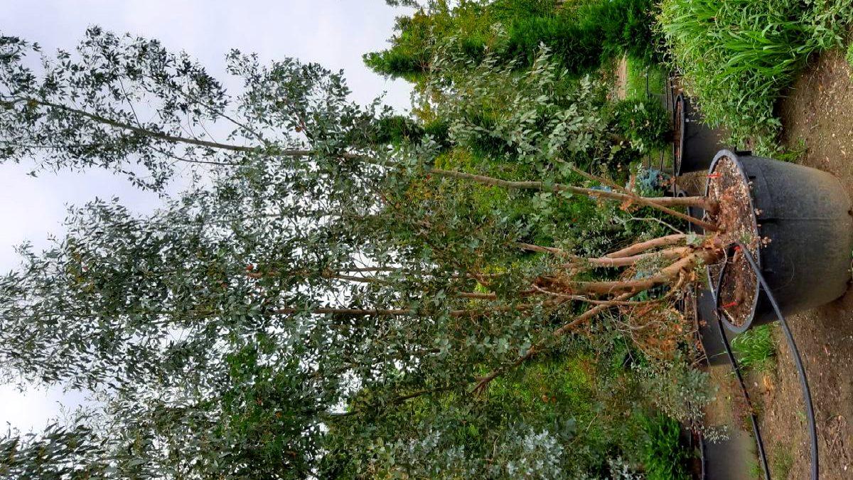 Eucalyptus cacher fenêtre étage