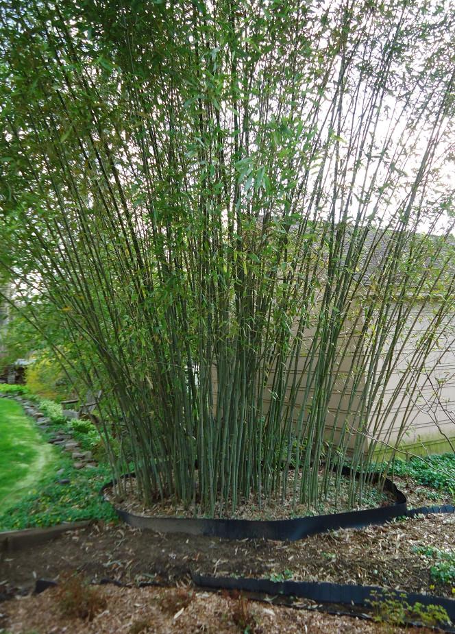 Barrière anti rhizome pour Bambous