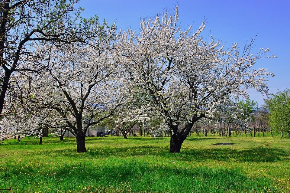 Bien choisir son arbre fruitier