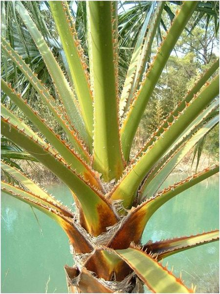 Palmier Washingtonia en vente à Aix en Provence