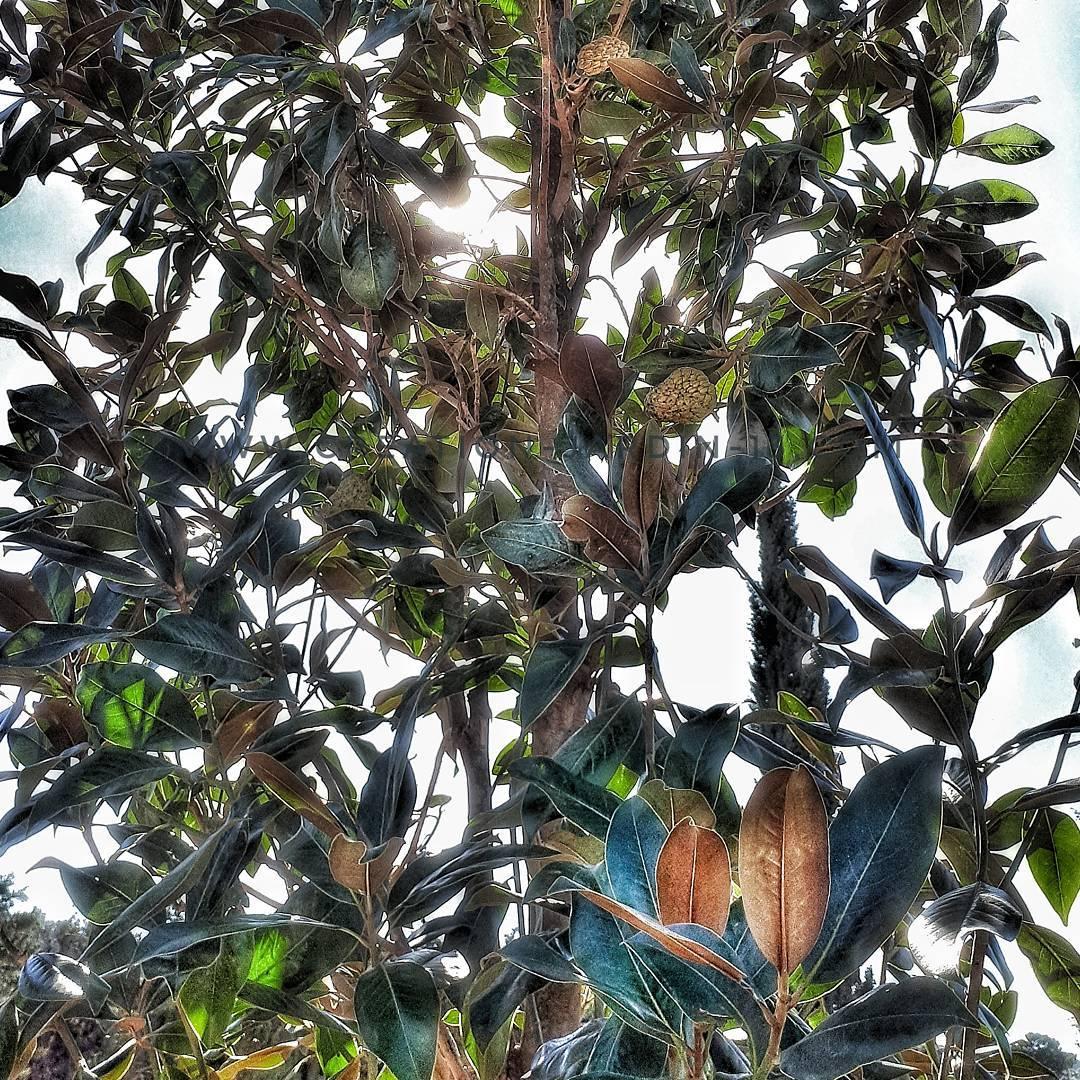 Cacher une fenetre avec un arbre magnolia