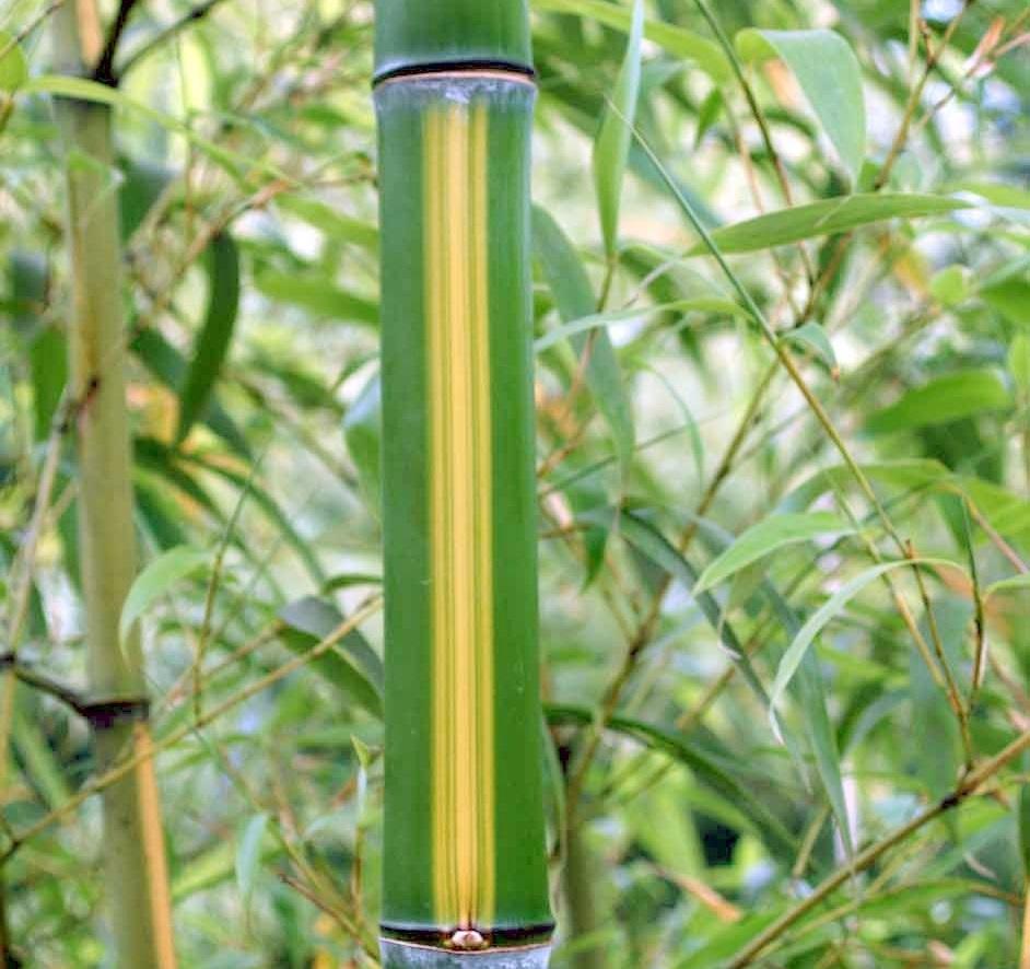 Bambous Aix en Provence