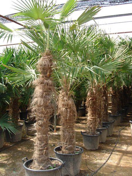 Palmier chanvre disponible à Marseille !