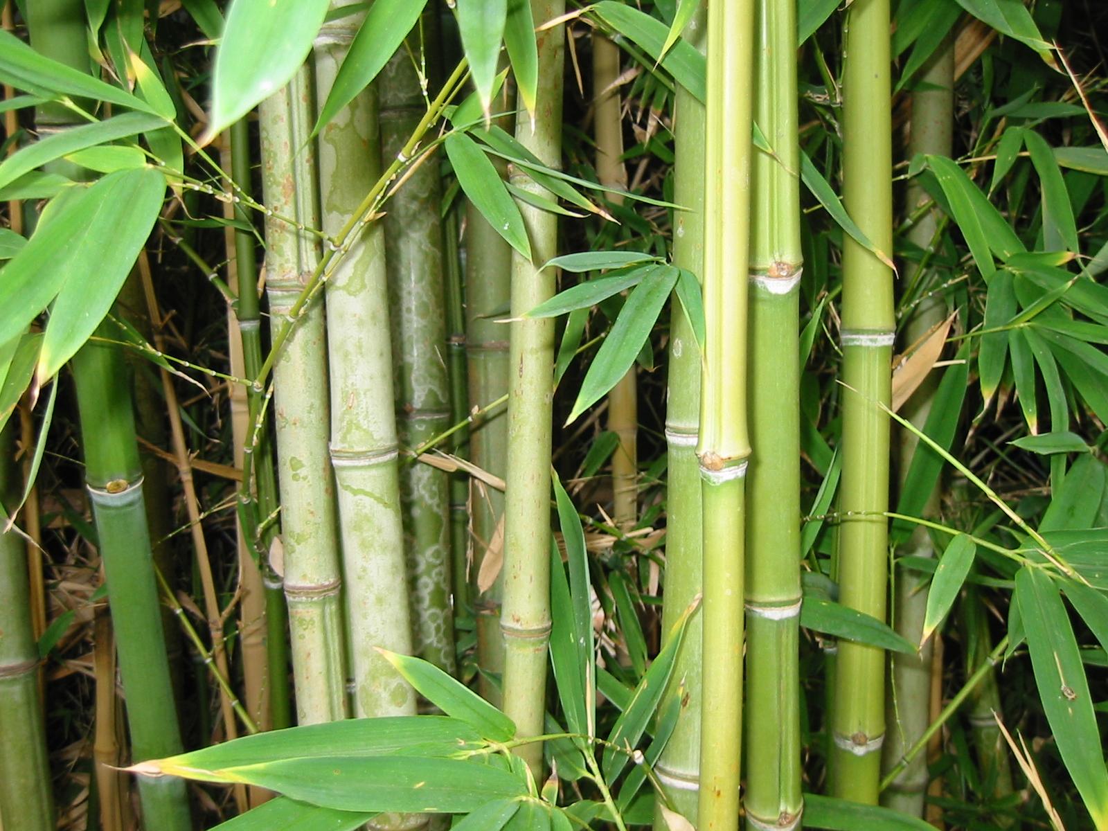 Nœuds de chaume et feuilles de bambous
