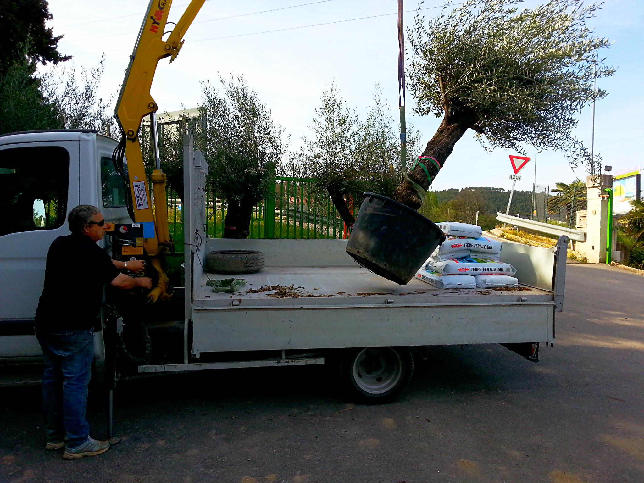 Terreau pour planter un olivier